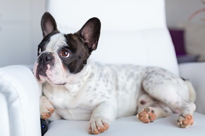 ソファーの上で何かを見つめる犬