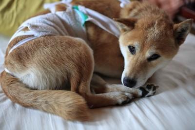手術後の寝ている柴犬