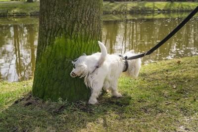 散歩中に木にマーキングをする犬