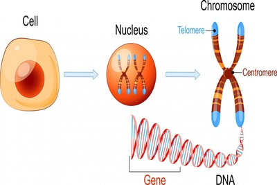 遺伝に関する図式