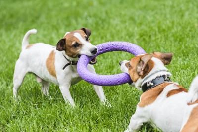 リングのおもちゃを引っ張りっこする2匹の犬