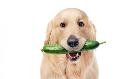 きゅうりをくわえる犬