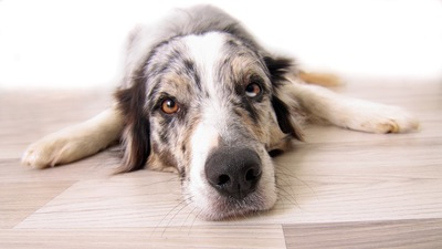 フローリングで寝そべる犬