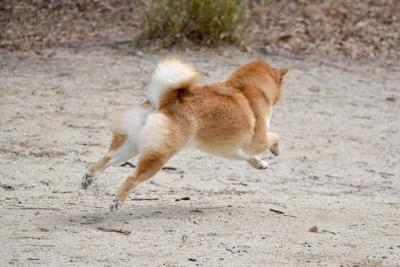 走っている柴犬の後ろ姿