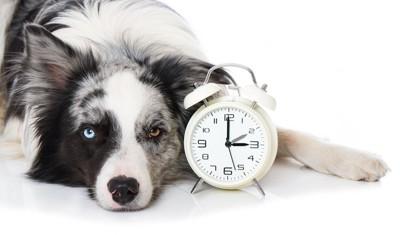 目覚まし時計の横で伏せる犬