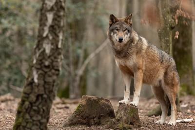 森にいるオオカミ