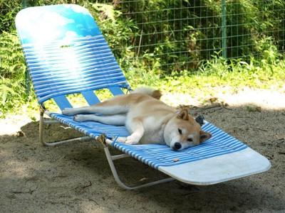 ビーチベッドで寝る芝犬