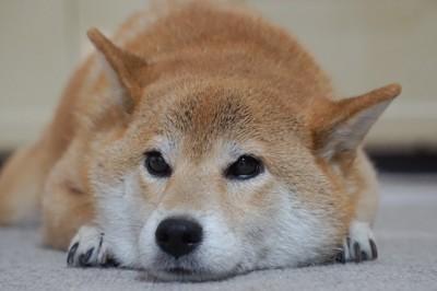 耳を横に向けて伏せている柴犬