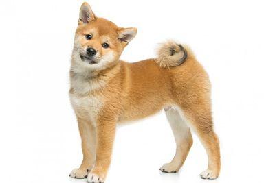 赤い毛色の柴犬