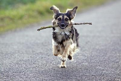 木の枝をくわえた犬