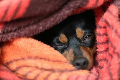 毛布にもぐる犬