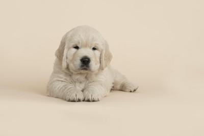 手を揃えて伏せるゴールデンの子犬