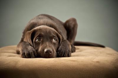クッションに伏せて横を見ている犬