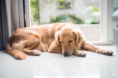 疲れた表情で休む犬