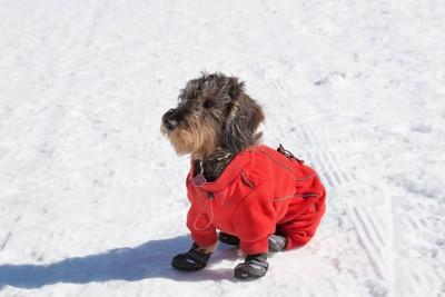 雪の上に座る靴を履いた犬