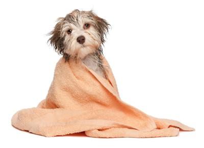 身体にタオルを巻いた犬