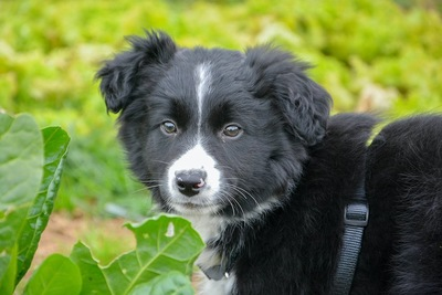キャベツ畑でこちらを見つめる犬
