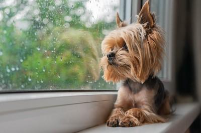 窓の外を見つめるヨークシャーテリア