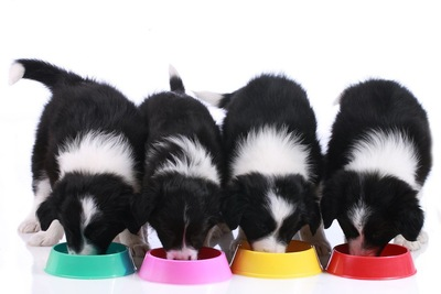 並んでご飯を食べる4匹の犬