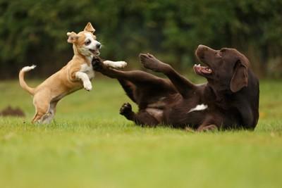 芝生の上で遊ぶ小型犬と大型犬