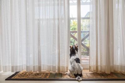 おすわりして窓の外を見つめる犬
