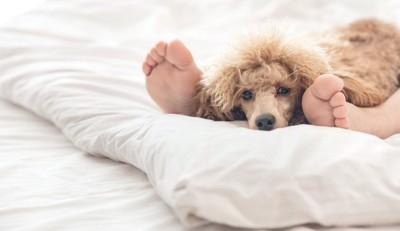 布団で横になる飼い主の足の間でくつろぐ犬