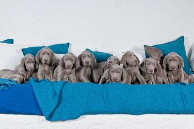 ワイマラナーの子犬達