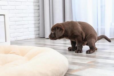リビングでうんちをする姿勢をする子犬