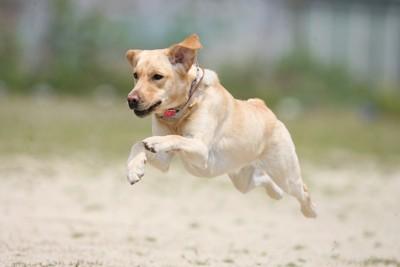 ジャンプして走る犬