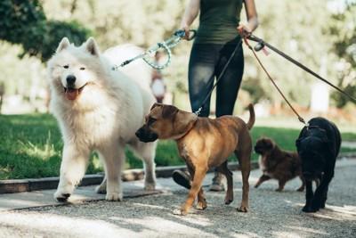 たくさんの犬を一緒に散歩させている女性