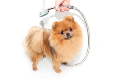 シャワーされる犬