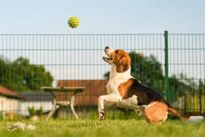 ボールで遊ぶビーグル犬