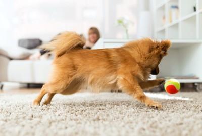 室内でボールを追いかける犬