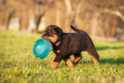 フードボウルをくわえて芝生を歩く子犬