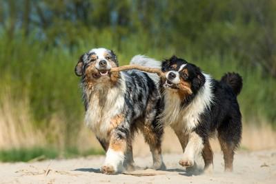 棒を咥えて遊ぶ2匹の犬