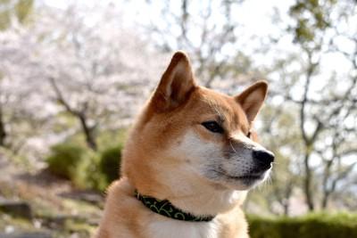 桜を背景にした柴犬