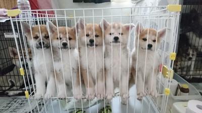 秋田犬専門犬舎【伊達天英荘】の投稿画像