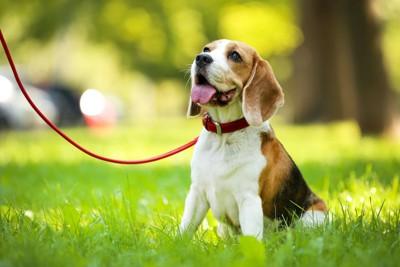 草むらに座るリードをつけたビーグル犬
