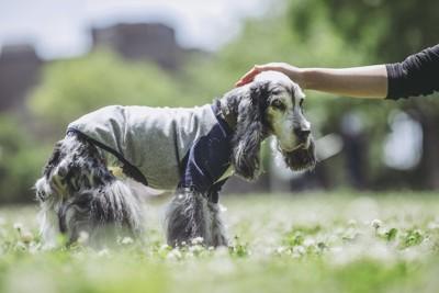 老犬の頭を撫でる飼い主の手