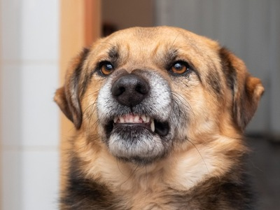 歯を見せて怒っている犬
