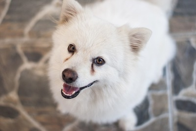 涙やけになっている白い犬