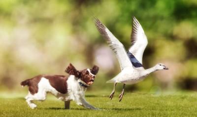 鳥を追いかけて走る犬