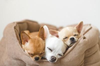 寝る3頭の子犬