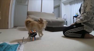 おもちゃを持って飼い主のほうに行ってる犬