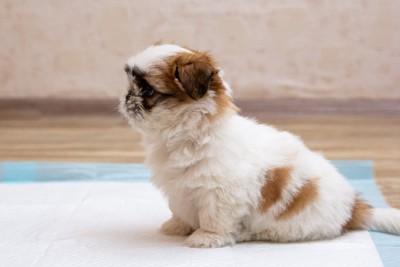 トイレシートに座る子犬