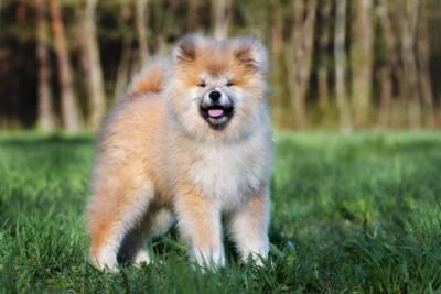 芝生に立つ長毛の秋田犬の子犬
