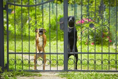門の中から警戒している2匹の犬