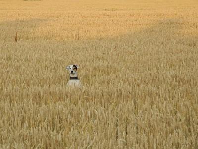 麦畑で顔を出す犬の写真