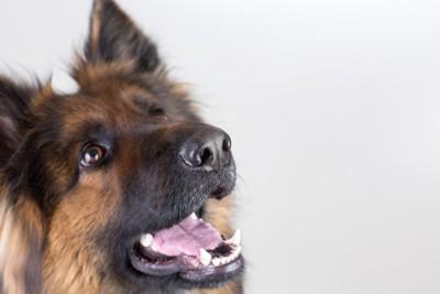 口をあけて飼い主を見上げる犬