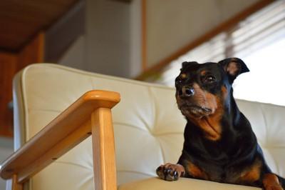 ソファーに座っているミニチュアピンシャー